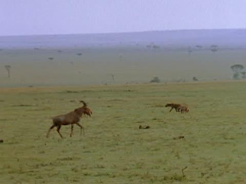 vidéos et rushes de hyenas and a topi walk across the grasslands. - se nourrir des restes