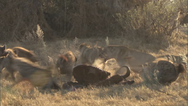 hyenas drive lions away from a buffalo carcass. - aggression stock videos & royalty-free footage