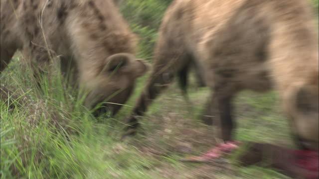 vídeos de stock, filmes e b-roll de hyenas feed on a carcass. - animais caçando