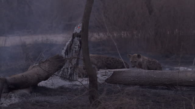 Hyenas gather near a smouldering log in the Serengeti of Tanzania. Available in HD.