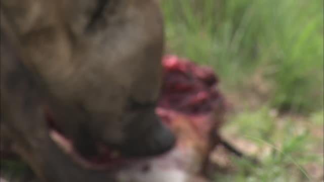 vídeos de stock, filmes e b-roll de hyenas lick and tear at a carcass. - animais caçando