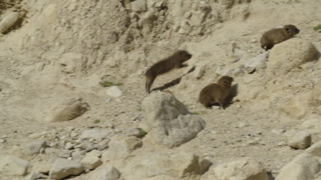 hyrax family - cinque animali video stock e b–roll
