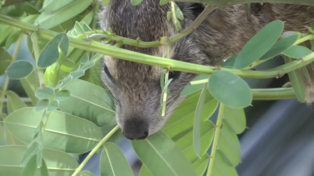hyrax feeding. - herbivorous stock videos & royalty-free footage