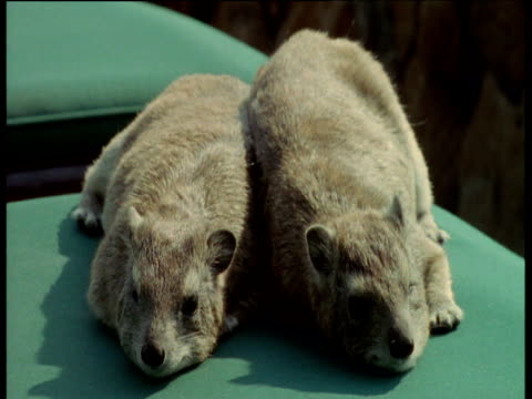 stockvideo's en b-roll-footage met hyraxes lie on sun lounger, masai mara national reserve, kenya - achterover leunen