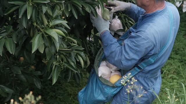 vídeos y material grabado en eventos de stock de hyuganatsu fruit harvesting and packing at farm and warehouse in aya, miyazaki prefecture, japan, on monday, april 5, 2021. - huerta