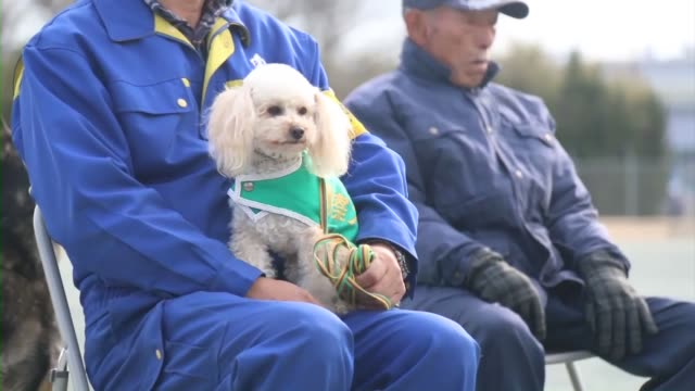 vídeos de stock, filmes e b-roll de a toy poodle has been performing well as a police dog in ibaraki prefecture near tokyo after nearly being euthanized in 2013 following possible... - poodle de brinquedo