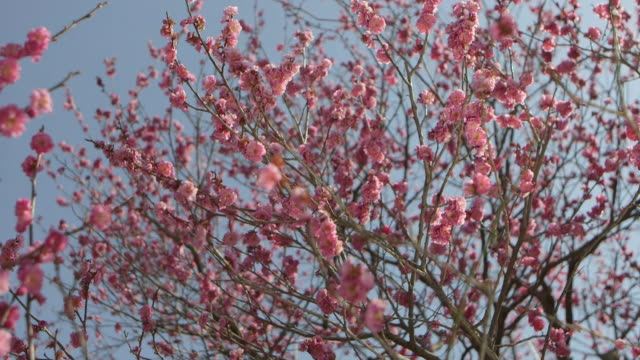 Ibaraki Kairakuen Garden Close up shot of pink plum blossom flowers Thin tree branches with bunches of small flowers swaying in the wind