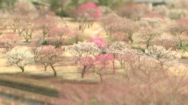 Ibaraki Kairakuen Garden gradual blur towards the top and bottom of the frame Pink plum blossoms in full bloom Pans across the park where a variation...