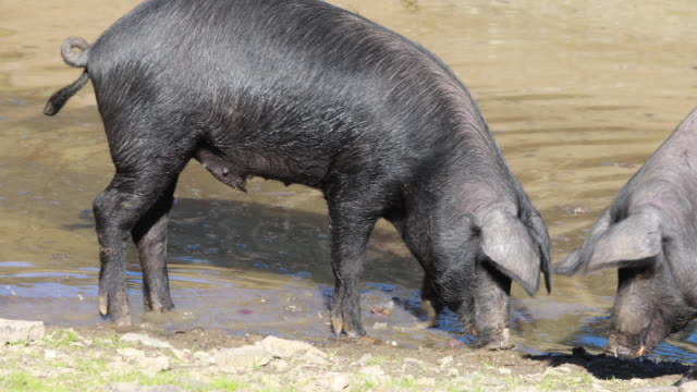 iberia pigs in jabugo's farm taking a bath, autumn sierra de aracena, huelva - livestock stock videos & royalty-free footage
