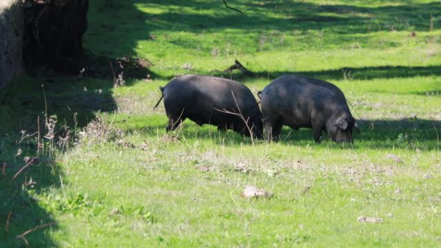 vídeos de stock e filmes b-roll de iberia pigs in jabugo's prairie running wild, autumn sierra de aracena, huelva - porco