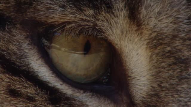 ecu iberian lynx cat blinking/ zoolí_gico botíçnico jerez, spain - cat blinking stock videos & royalty-free footage