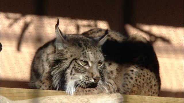 vidéos et rushes de ms cu  iberian lynx cat / zoolí_gico botíçnico jerez, spain - lynx