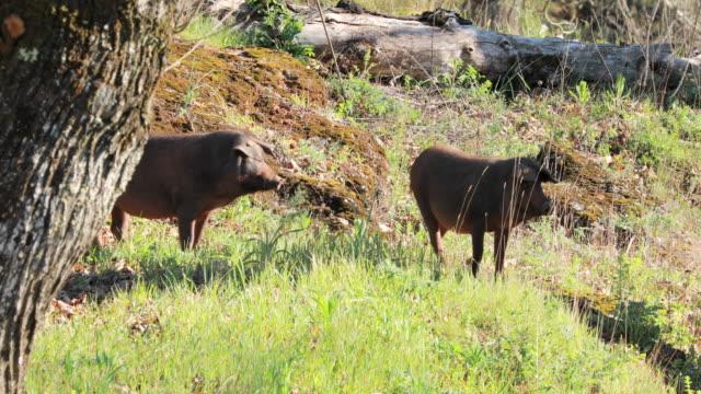 iberian pigs in prairie during springtime - pig stock videos & royalty-free footage