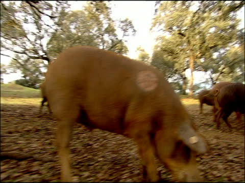 iberian pigs (sus scrofa domesticus) rooting for acorns, low angle, autumn, la sierra norte de sevilla, andalusia, southern spain - livestock tag stock videos and b-roll footage