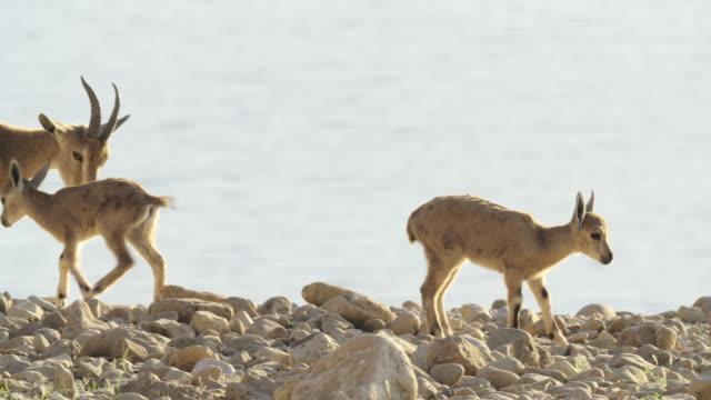 vídeos y material grabado en eventos de stock de ibex 3 - small group of animals