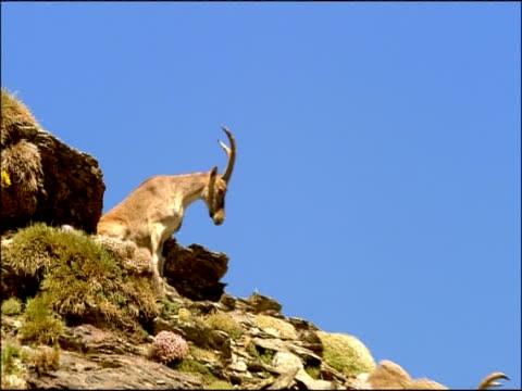 Ibex (Capra hispanica) getting up, Parque Nacional Sierra Nevada (Granada y Almeria), Andalusia, Southern Spain