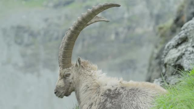 Ibex lying on a mountain / Close Shot