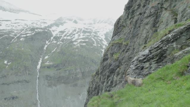 山に横たわっているアイベックス/ワイドショット - ヤギ点の映像素材/bロール