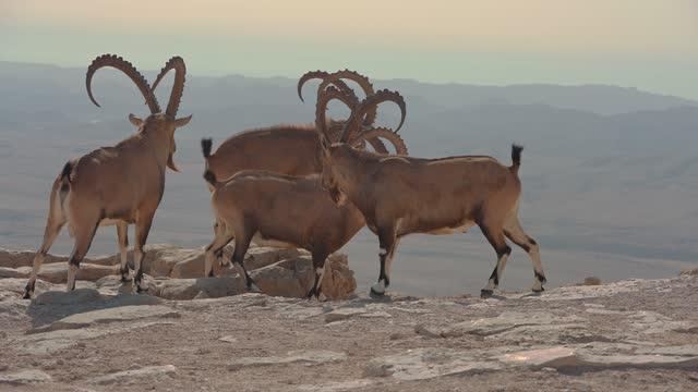 ibex, nubian ibex (capra nubiana) - herbivorous stock videos & royalty-free footage