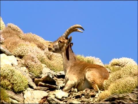 Ibex (Capra hispanica), Parque Nacional Sierra Nevada (Granada y Almeria), Andalusia, Southern Spain