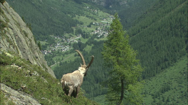 Ibex (Called Bouquetin In French)