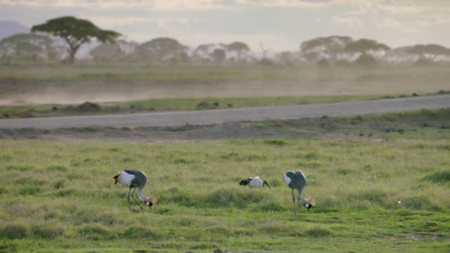 WS Ibis and grey crowned cranes grazing on savanna landscape, trees in background / Kenya