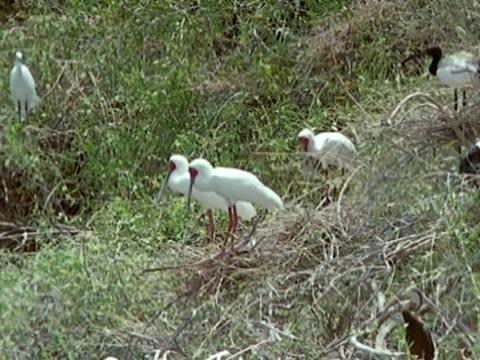ibis birds pairs on hillside. ibis nesting rookery in hillside grasses. - lunghezza video stock e b–roll