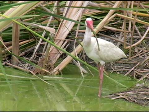 ibis umherblicken - maul stock-videos und b-roll-filmmaterial