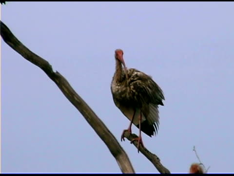 ibis on branch, bald head island, north carolina - bald head island stock videos & royalty-free footage