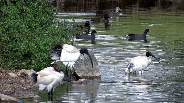 Ibises and ducks on a lake