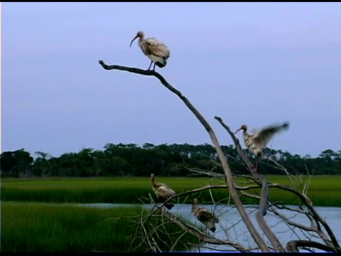 ibises in on branches in wetlands, bald head island, north carolina - vier tiere stock-videos und b-roll-filmmaterial