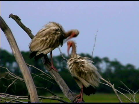 ibises on branch, bald head island, north carolina - bald head island stock videos and b-roll footage