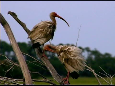 ibises on branch, bald head island, north carolina - bald head island stock videos & royalty-free footage