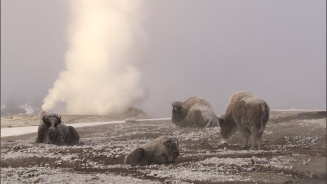 ice covered bison (bison bison) and steam from hot spring, yellowstone, usa - american bison stock videos & royalty-free footage