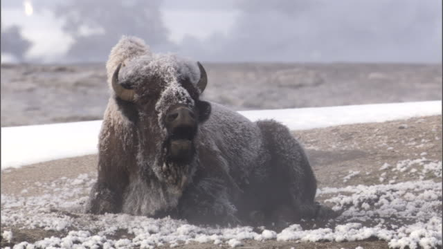 Ice covered Bison (Bison bison) and steam from hot spring, Yellowstone, USA