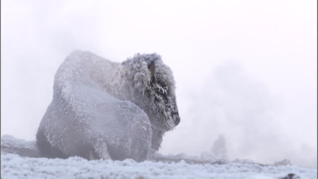 Ice covered Bison (Bison bison) in steam from hot spring, Yellowstone, USA
