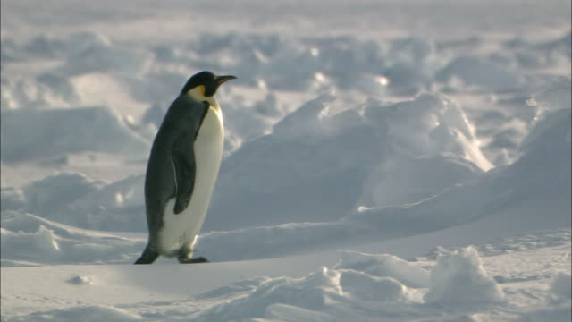 Ice field and an Emperor Penguin walking alone