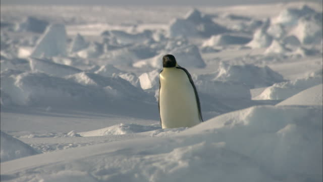 ice field and an emperor penguin walking alone - emperor penguin stock videos & royalty-free footage