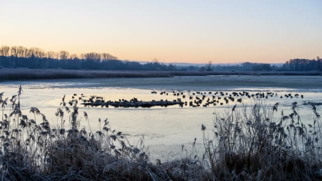 ice hole in lake with ducks and geese in the winter at dawn, lake reinheim, reinheim, hesse, germany - 40 seconds or greater stock videos & royalty-free footage