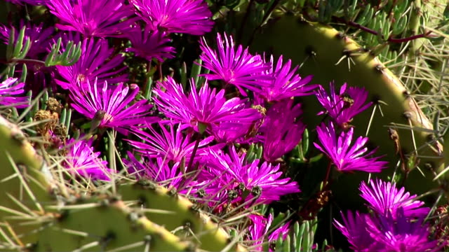 ice plants and prickly pear cactus - prickly pear cactus stock videos & royalty-free footage