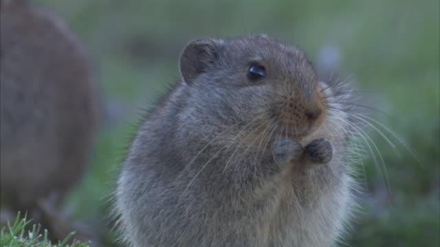 vídeos de stock, filmes e b-roll de ice rats nibble on grass. available in hd - bigode de animal