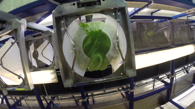 stockvideo's en b-roll-footage met pov iceberg lettuce on wrapping machine, uk - oogsten