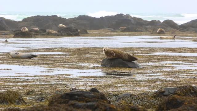 stockvideo's en b-roll-footage met iceland harbor seals - verwonderingsdrang