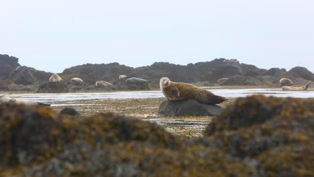 iceland harbor seals - 野生生物保護点の映像素材/bロール