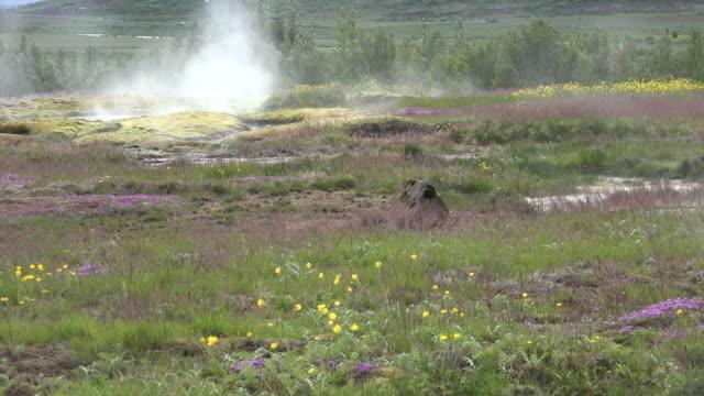 vídeos de stock, filmes e b-roll de iceland haukadalur geyser basin with flowers and steam - islândia central