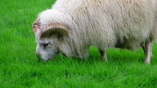 vídeos de stock e filmes b-roll de islândia ovelha - mamífero ungulado