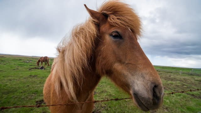 icelandic horses grazing on a pasture - animal pen stock videos & royalty-free footage