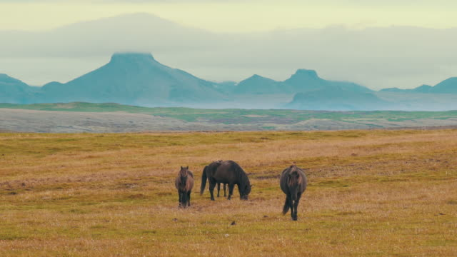 icelandic horses in a meadow in southern iceland. - animal markings stock videos & royalty-free footage