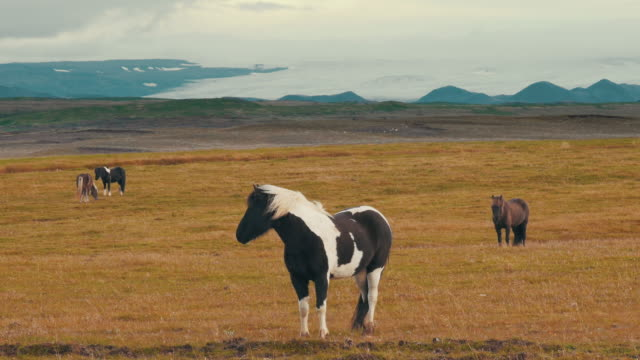 icelandic horses in a meadow in southern iceland. - 哺乳類点の映像素材/bロール