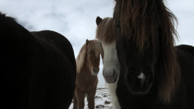 icelandic horses stare at the camera.  - curiosity stock videos & royalty-free footage